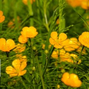 Golden Creeping Buttercups - Nature Relaxation Video in 4k