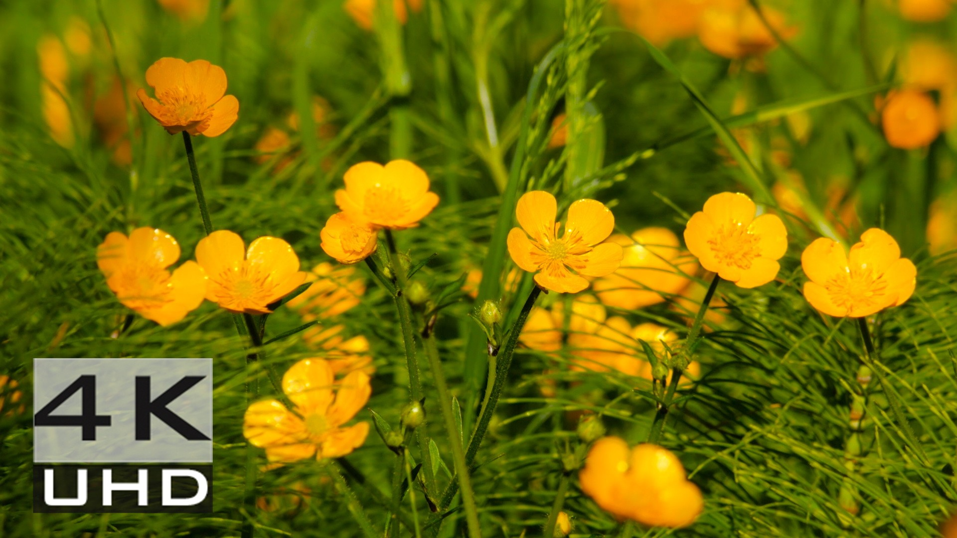 Golden Creeping Buttercups – Nature Relaxation Video in 4k