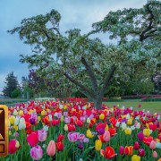 4K Nature Relaxation Video - Skagit Valley Tulip Festival