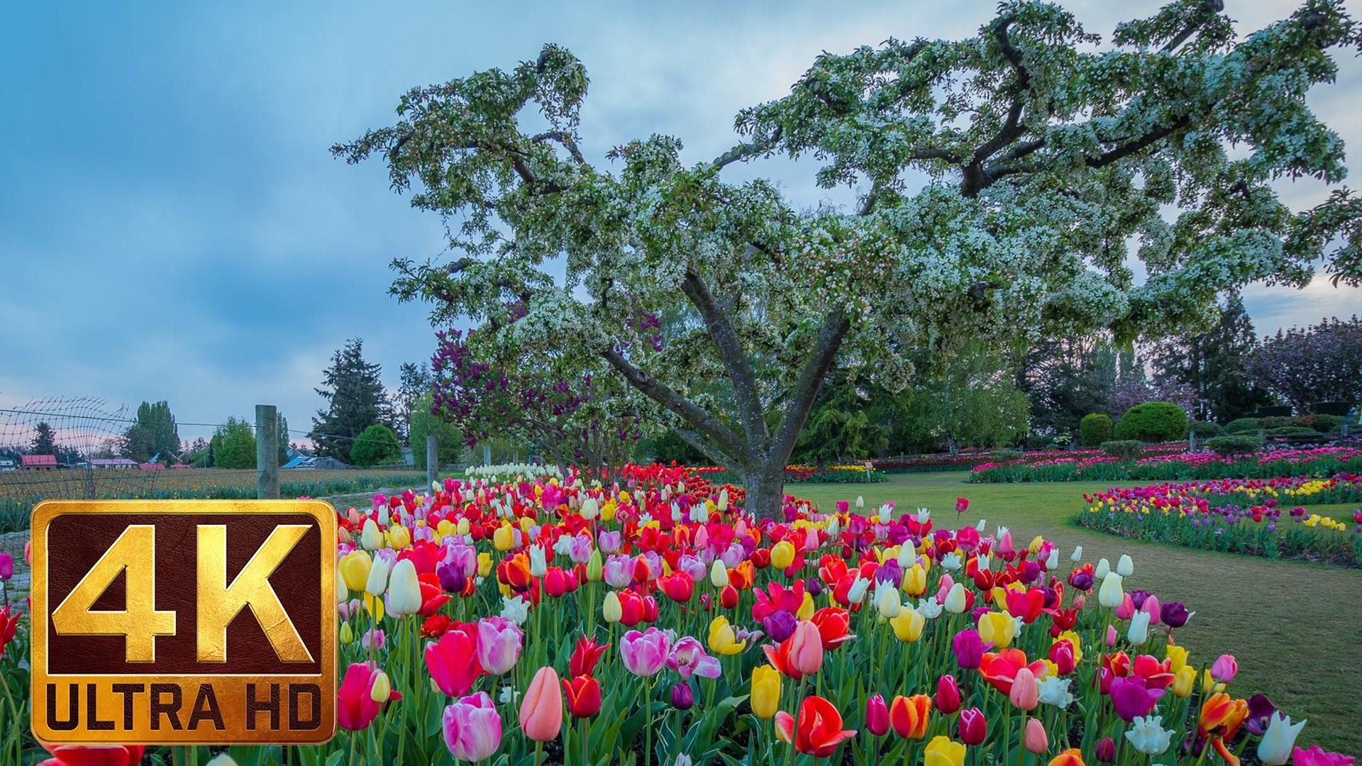 4K Nature Relaxation Video – Skagit Valley Tulip Festival
