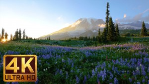 WILD FLOWERS OF MT RAINIER youtube 3 hours loop
