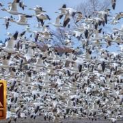 Skagit Valley Snow Geese. Part 1 - 4K Wildlife Footage
