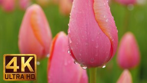 Wooden Shoe Tulip Festival in Oregon - 4K Nature Relax Video