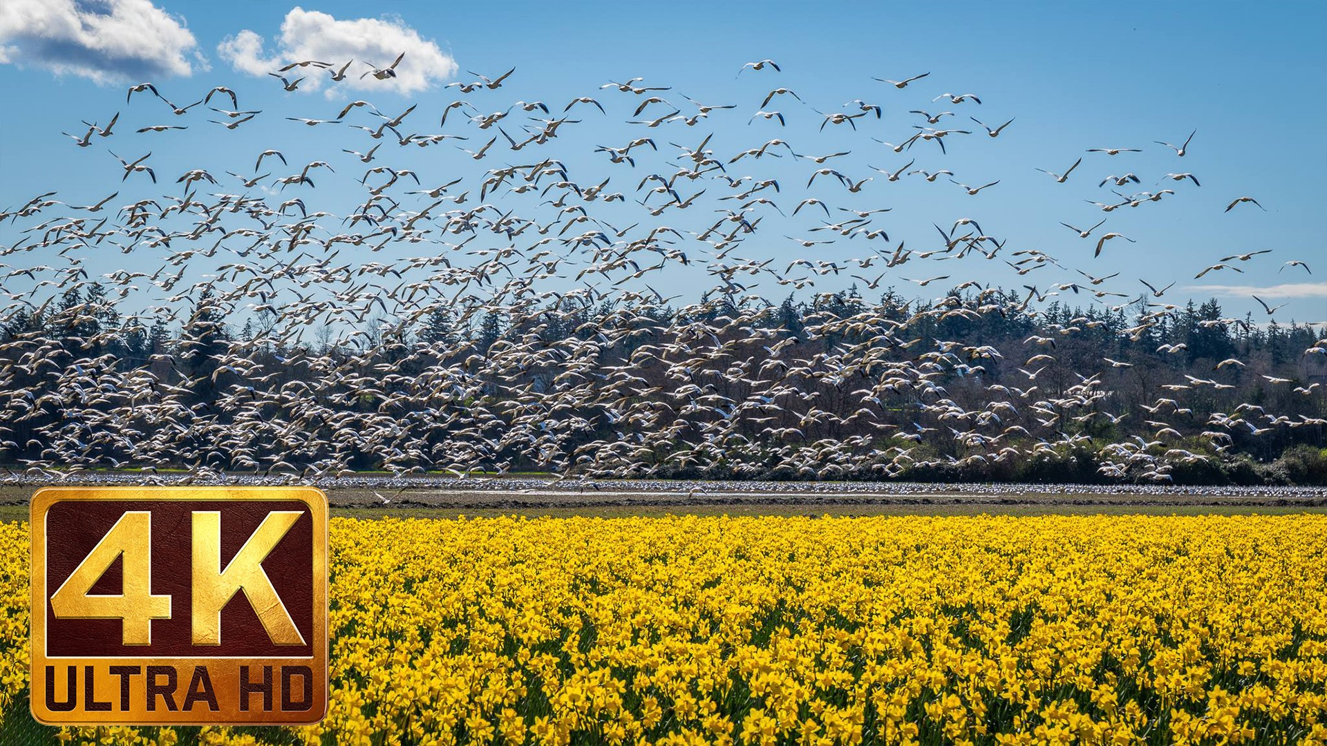 Skagit Valley Snow Geese. 4K Nature Relax Video