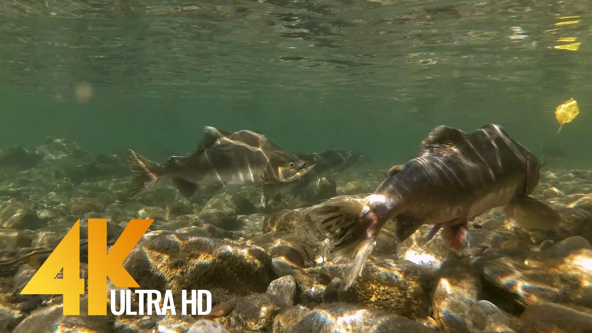 salmon run at skagit river
