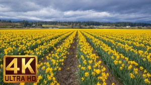 SkAGIT VALLEY DAFFODILS TRAILER