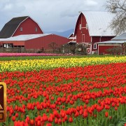 skagit valley tulip festival episode 4