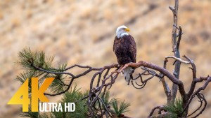 AMERICAN WILDLIFE 2 YAKIMA CANYON RD FILM