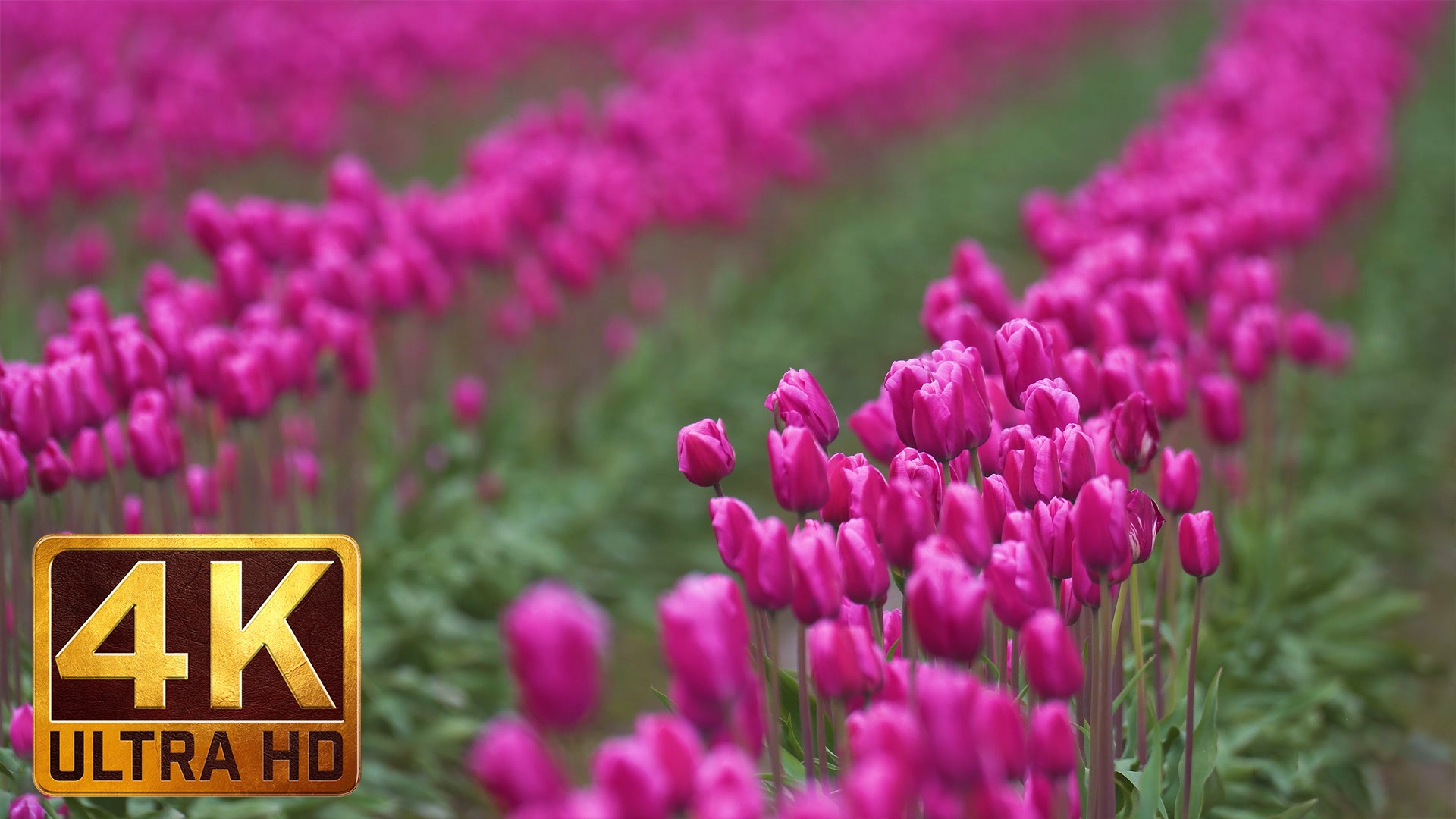 skagit valley tulip festival episode 5