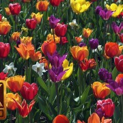 skagit valley tulip festival episode 6 YuoTube