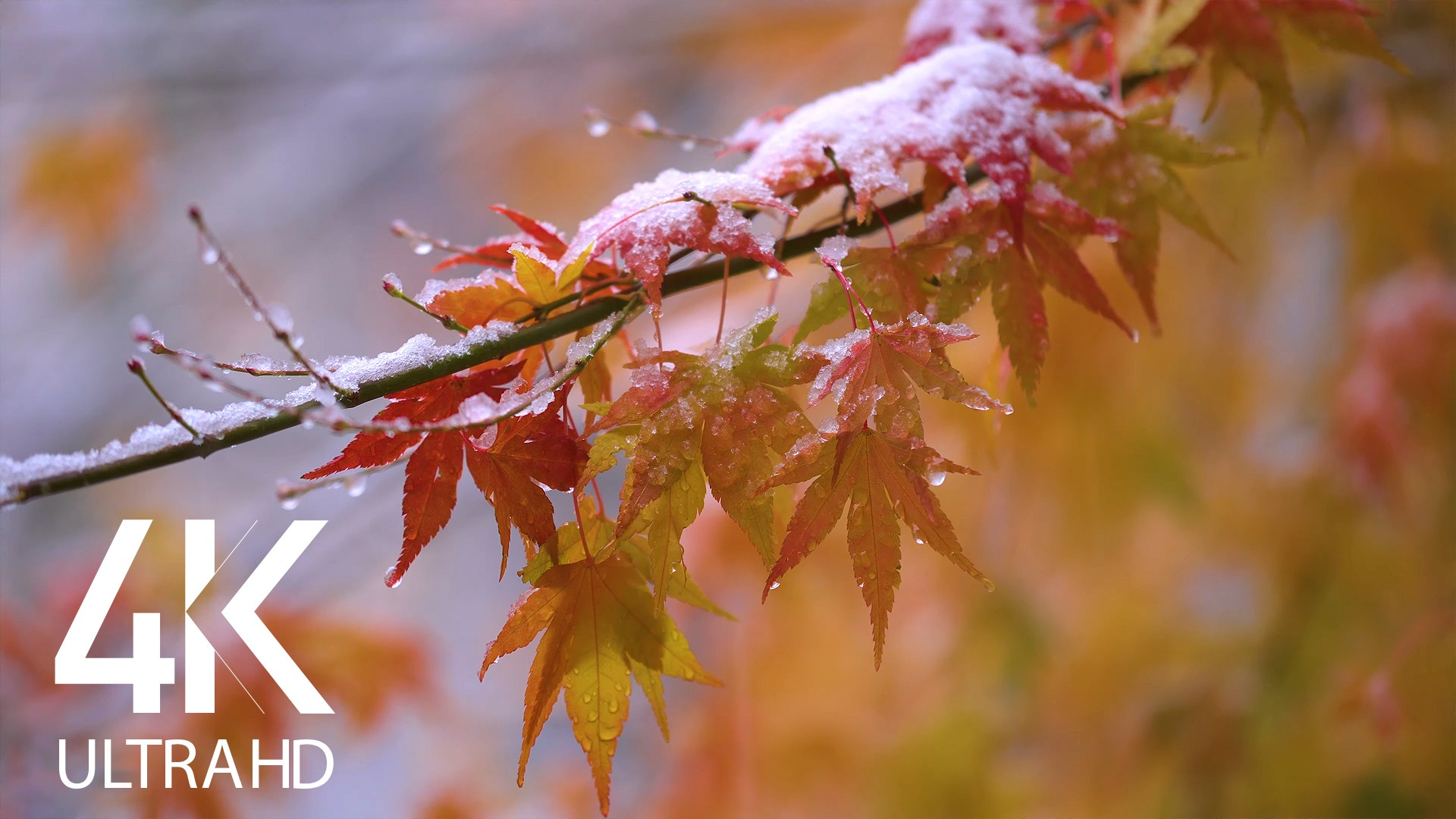 SNOW ON FALL LEAVES 1