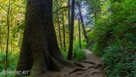 Giant Spruce Trail 7