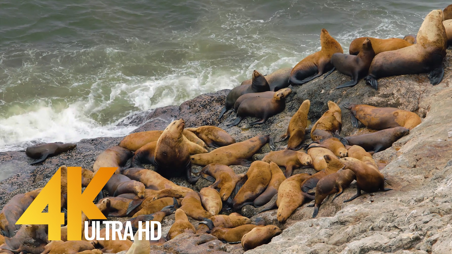 Sea Lions at Coastal Oregon