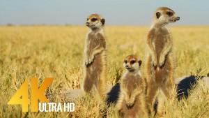 African Wildlife Cute Meerkats and Squirrels