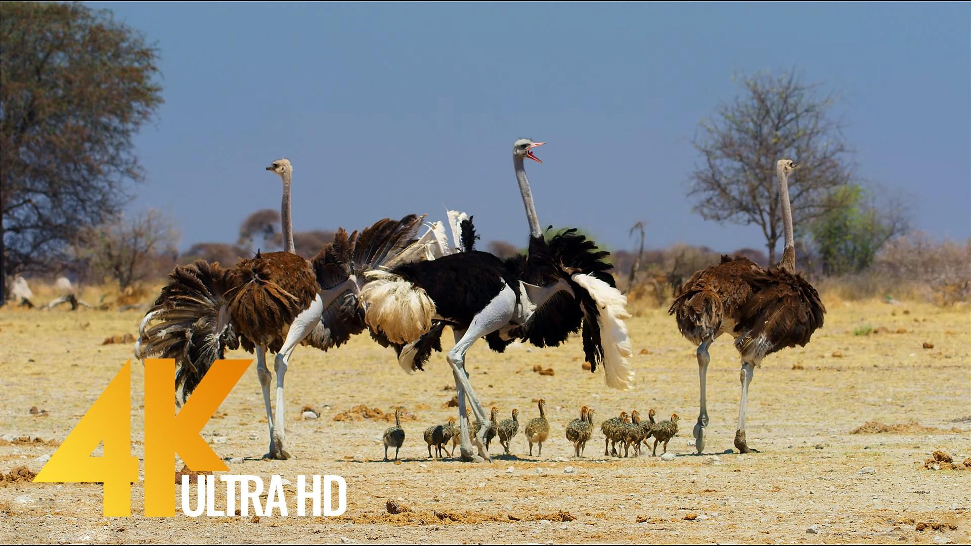Ostrich the Flightless Bird