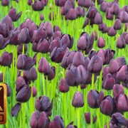 Wooden Shoe Tulip Festival in Oregon 3 youtube