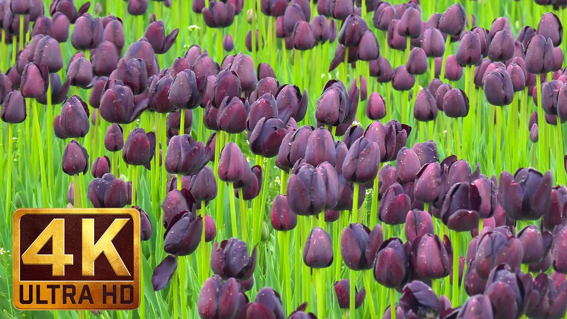 Wooden Shoe Tulip Festival in Oregon 3 youtube