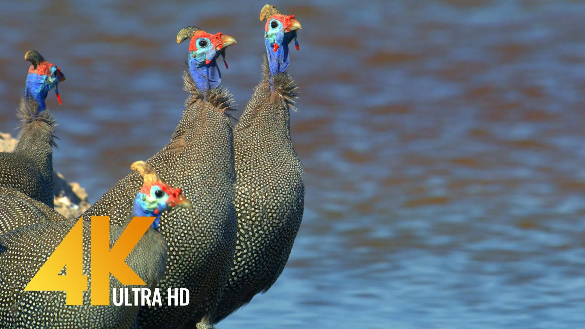 African Birds