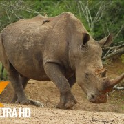 African Wildlife Rhinoceros and Hippopotam