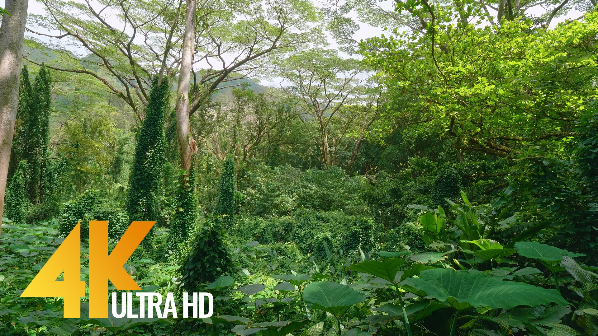 Tropical Rainforest, Oahu Island, Hawaii – 4K/4K HDR Relax Video with  Perfect Nature Sounds – 5 HRS