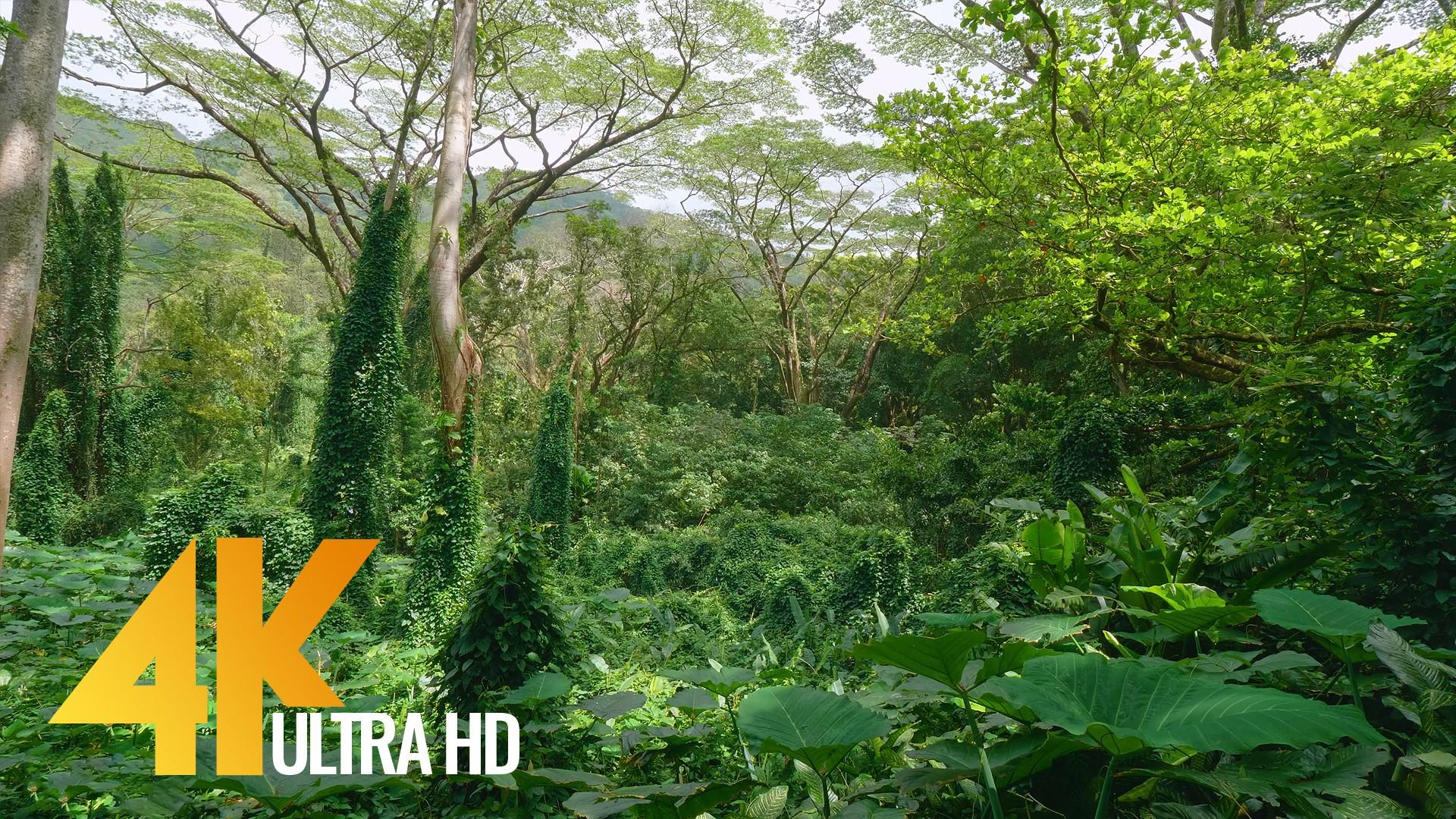 Tropical rainforest OAHU ISLAND, HAWAII