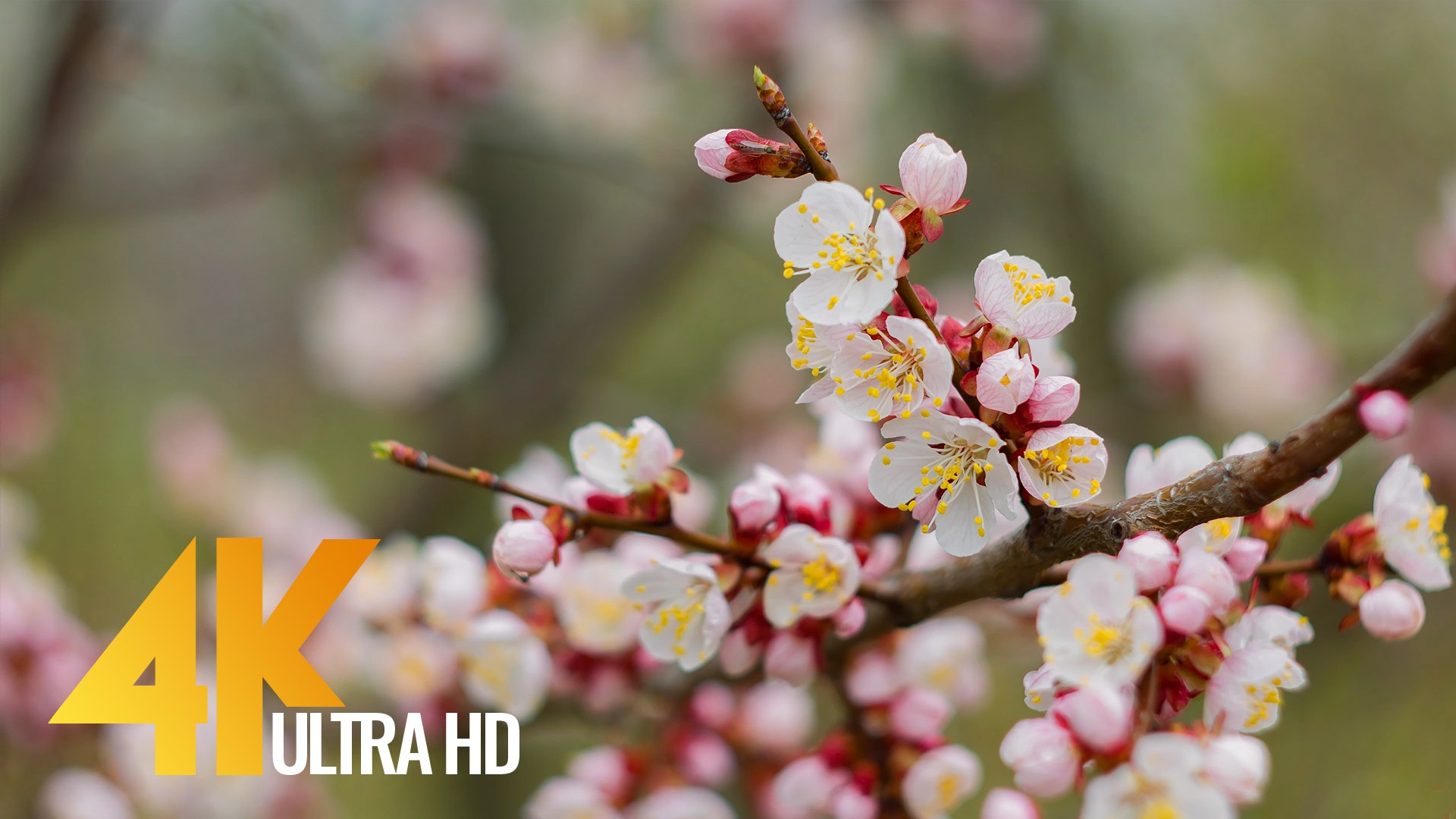 APRICOTS IN BLOOM PREVIEW