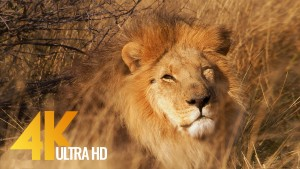 lions youtube relax