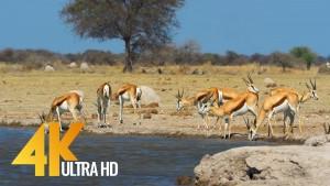 African Springboks