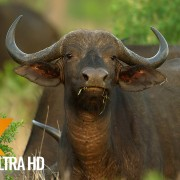 Buffalos of Africa, 4K Wildlife video