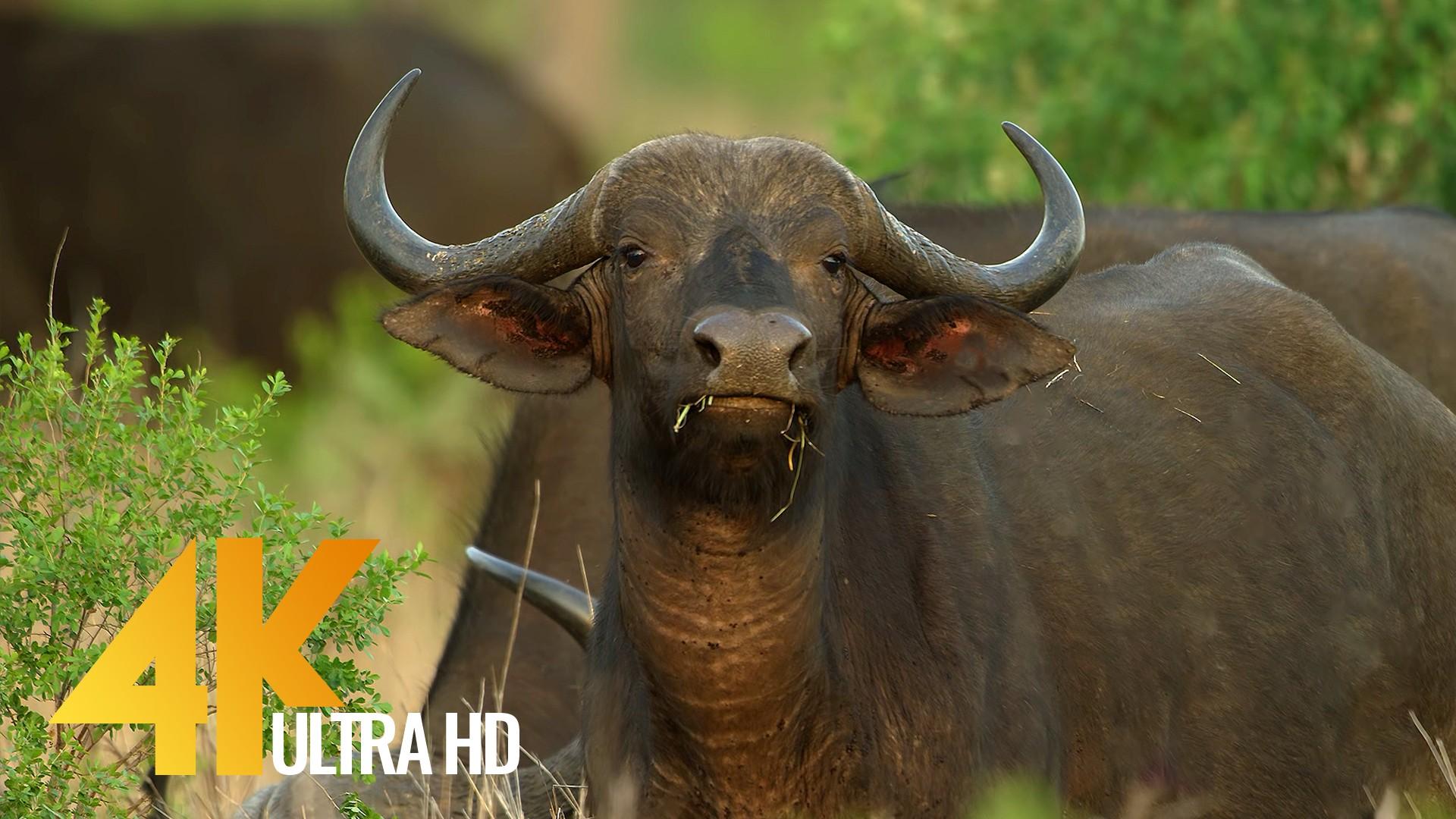 Buffalos of Africa, 4K Wildlife video