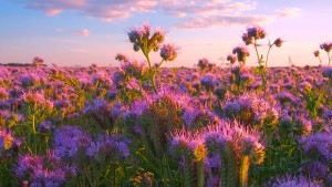 The Beautiful Soothing Tunes of Scenic Flower Field