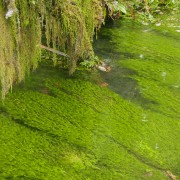 riverweed